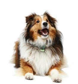 Purebred dog Purebred Dog Versus Mutt Does It Matter Purebred Versus Mutt You