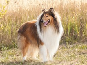 Purebred dog Why Purebred Dogs Need Extra Love and Attention All Pet News
