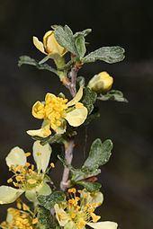 Purshia tridentata httpsuploadwikimediaorgwikipediacommonsthu
