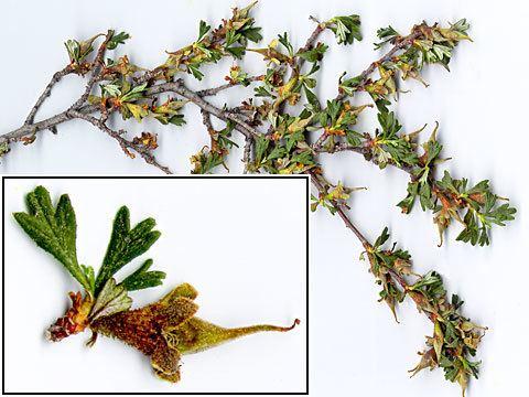 Purshia tridentata Profile Purshia tridentata