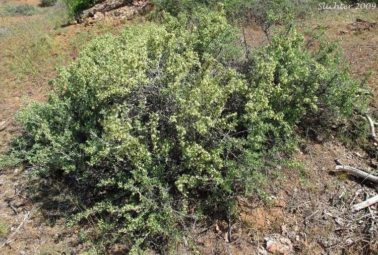 Purshia tridentata Bitterbrush Antelope Brush Antelopebrush Bitterbrush Purshia