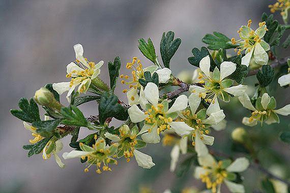 Purshia tridentata Purshia tridentata Colorado Wildflowers