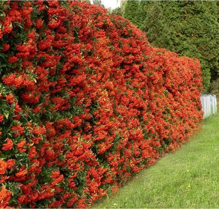 Pyracantha 78 Best images about Fruit Pyracantha Berrries on Pinterest