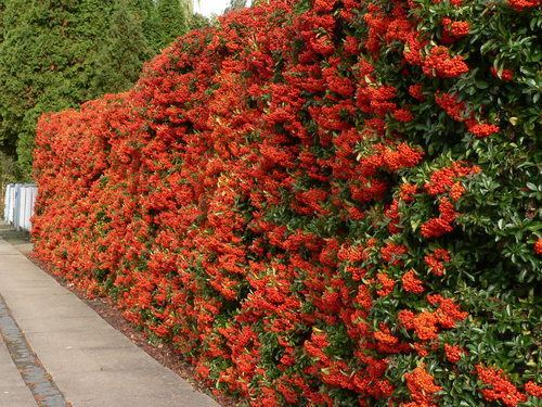 Pyracantha Hedges time saving wildlife havensa non gardeners guide