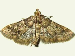 Pyralis manihotalis mothphotographersgroupmsstateeduFiles1LivePHH