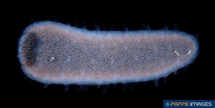 Pyrosoma atlanticum Salps PYROSOMATIDAE Pyrosoma atlanticum Marine Iconography of