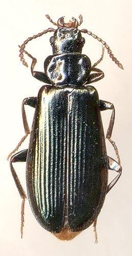 Pythidae Pytho depressus L 1767 Pythidae