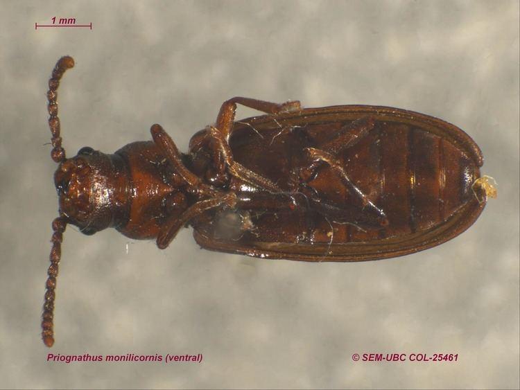 Pythidae Pythidae