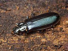 Pythidae httpsuploadwikimediaorgwikipediacommonsthu