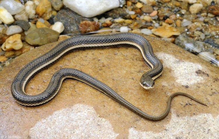Queen snake Queen Snake
