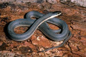 Queen snake DNR Queen Snake Regina septemvittata