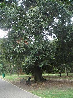 Quercus humboldtii httpsuploadwikimediaorgwikipediacommonsthu