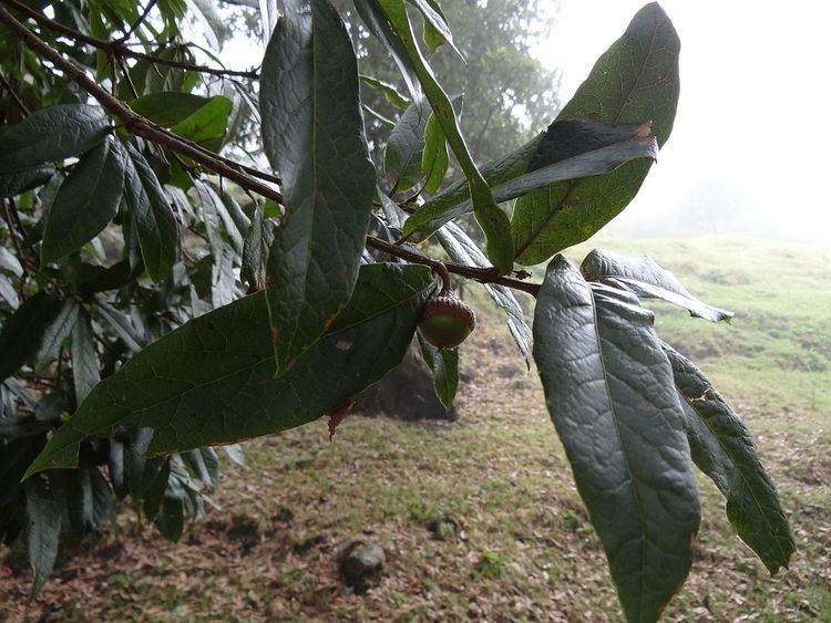 Quercus humboldtii Quercus humboldtii Wikipedia