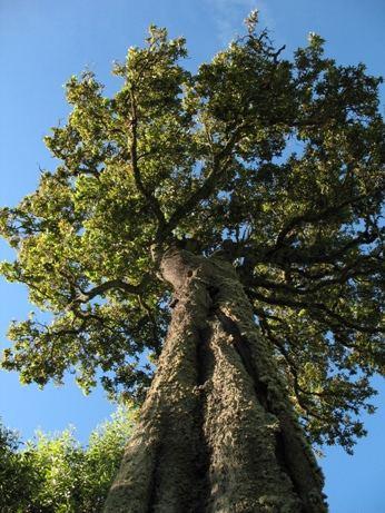 Quercus humboldtii Roble Quercus humboldtii Un gigante centenario elevndos Flickr