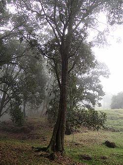 Quercus humboldtii Quercus humboldtii Wikipedia la enciclopedia libre