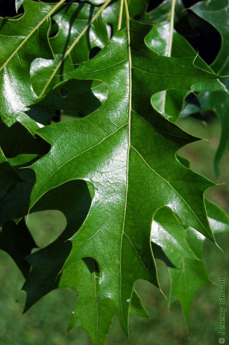 Quercus texana Fagaceae Quercus texana Nuttall oak Lab 11