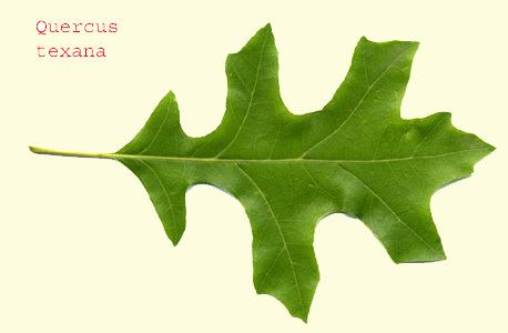 Quercus texana Quercus texana