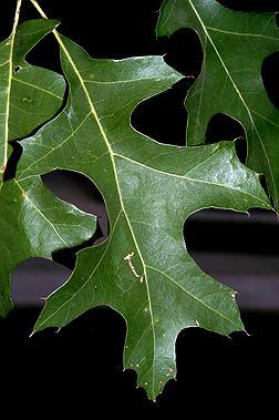 Quercus texana Quercus texana Fact Sheet