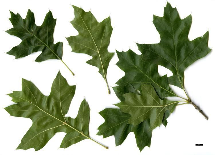 Quercus texana Full Name Report From The Oak ICRA Checklist