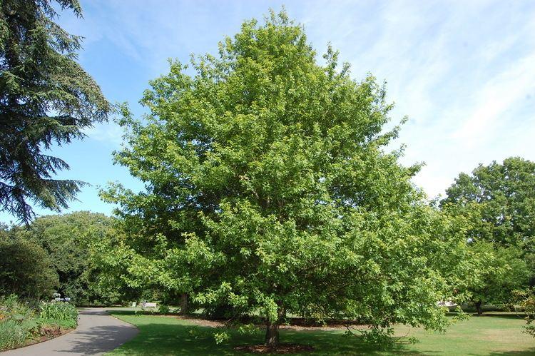 Quercus texana httpsdavisla6fileswordpresscom201509querc