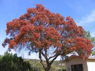 Quercus texana TS Oak Red