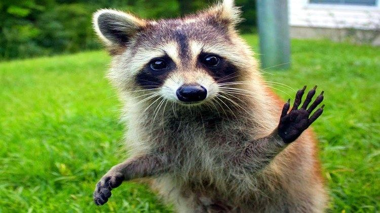 Raccoon 10 Funniest Raccoon Videos YouTube