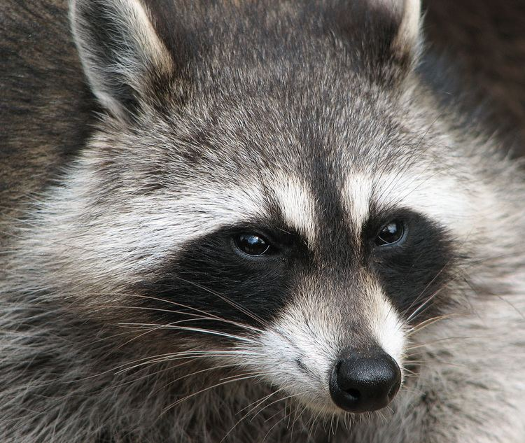 Raccoon httpsuploadwikimediaorgwikipediacommonsee