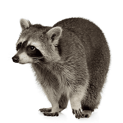 Raccoon Facts about Raccoons Raccoon Facts Havahart