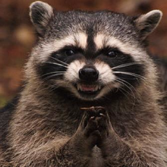 Raccoon Emergency Raccoon anarcharaccoon Twitter