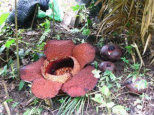 Rafflesia arnoldii httpsuploadwikimediaorgwikipediacommonsthu