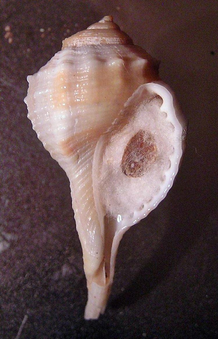 Ranularia oblita