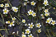 Ranunculus trichophyllus httpsuploadwikimediaorgwikipediacommonsthu