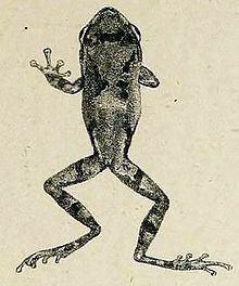 Raorchestes parvulus httpsuploadwikimediaorgwikipediacommonsthu
