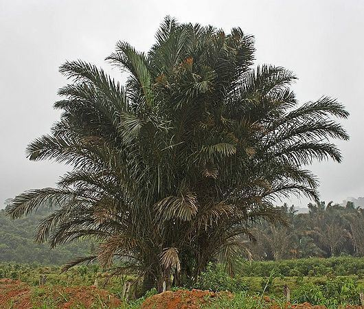 Raphia farinifera Raphia farinifera Palmpedia Palm Grower39s Guide