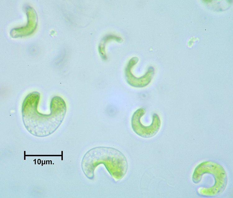 Raphidocelis subcapitata Algal Catalogue Index PQR
