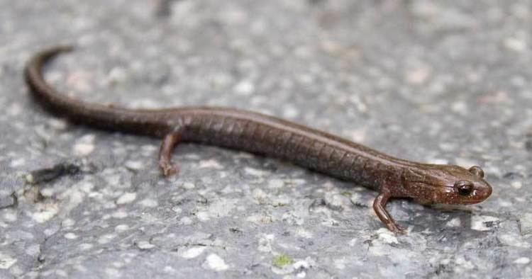 Image result for northern ravine salamander