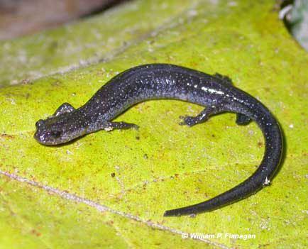 Ravine salamander Ravine Salamander Plethodon electromorphus