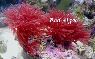 Red algae Red Algae Underwater sea plants Marine plants