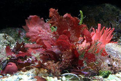 Red algae Saltwater Algae Control Red Algae Home Aquaria