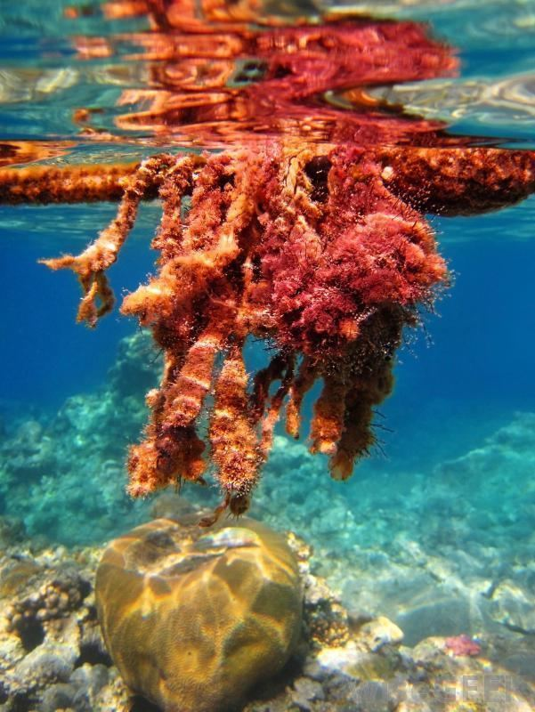 Red algae What is Red Algae with pictures