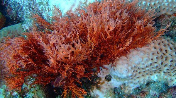 Red algae Why Red Algae Never Packed Their Bags for Land Scientific American