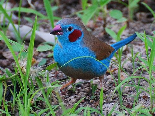 Red-cheeked cordon-bleu Redcheeked Cordon Bleu Finch AZ Birds
