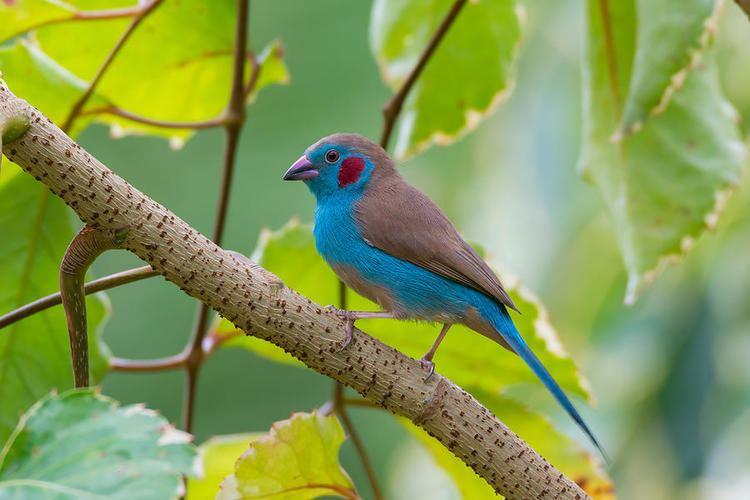 Red-cheeked cordon-bleu Redcheeked cordonbleu