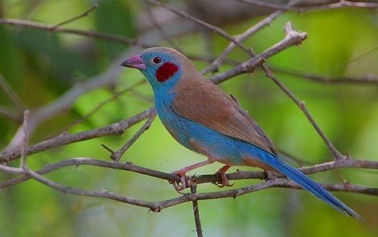 Red-cheeked cordon-bleu Redcheeked Cordonbleu BirdForum Opus