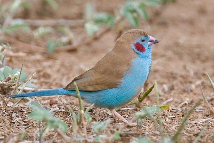 Red-cheeked cordon-bleu Redcheeked Cordonbleu Uraeginthus bengalus Africa estrildid