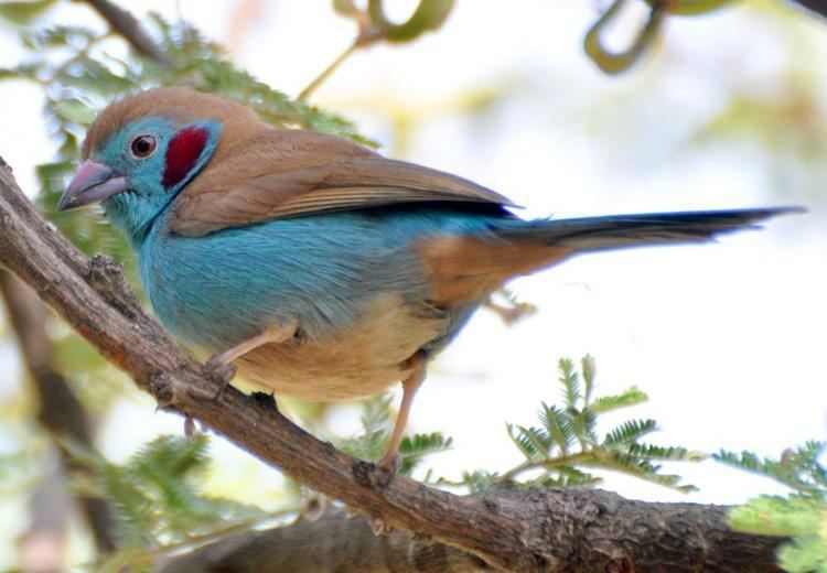 Red-cheeked cordon-bleu Redcheeked Cordonbleu Uraeginthus bengalus videos photos and