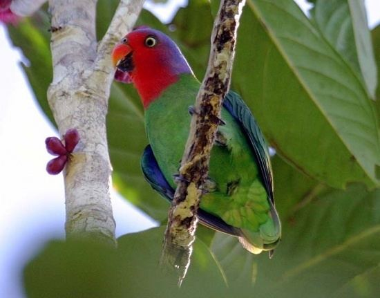 Red-cheeked parrot Redcheeked Parrot BirdForum Opus