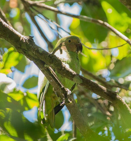 Red-cheeked parrot Oriental Bird Club Image Database Redcheeked Parrot Geoffroyus