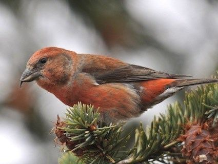 Red crossbill Red Crossbill Identification All About Birds Cornell Lab of