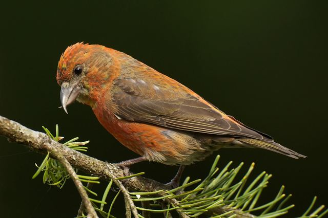 Red crossbill A Crossbill39s Beak Does the Job BirdNote